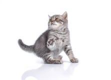 Βρετανικό γατάκι, αστείος, άσπρος, που απομονώνεται, Στοκ Εικόνες