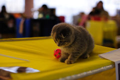 βρετανικό γατάκι εύθυμο Στοκ Εικόνες
