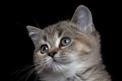 Βρετανικό γατάκι κινηματογραφήσεων σε πρώτο πλάνο στοκ φωτογραφία με δικαίωμα ελεύθερης χρήσης