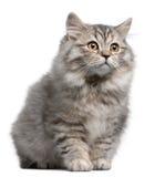 βρετανικό γατάκι μακρυμάλ Στοκ Φωτογραφίες