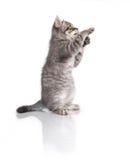 Βρετανικό γατάκι στα οπίσθια πόδια Στοκ εικόνες με δικαίωμα ελεύθερης χρήσης