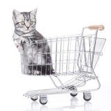 βρετανικό γατάκι τριχώματ&omicro Στοκ Εικόνες