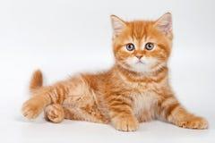 βρετανικό γατάκι Στοκ Φωτογραφία