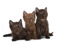 Βρετανικό γατάκι Στοκ Φωτογραφίες