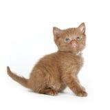 Βρετανικό γατάκι Στοκ Εικόνες