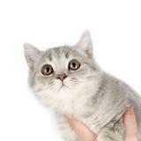 Βρετανικό γατάκι Στοκ εικόνα με δικαίωμα ελεύθερης χρήσης