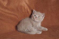 Βρετανικό γατάκι shorthair κανέλας Στοκ φωτογραφία με δικαίωμα ελεύθερης χρήσης
