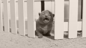 Βρετανικό γατάκι Shorthair που έξω ο δυνατός, άσπρος φράκτης φιλμ μικρού μήκους