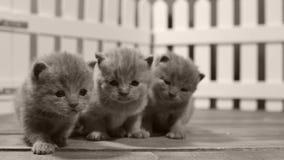 Βρετανικό γατάκι Shorthair που έξω ο δυνατός, άσπρος φράκτης απόθεμα βίντεο