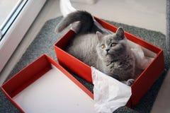 Βρετανικό γατάκι Shorthair σε ένα κιβώτιο Στοκ Φωτογραφίες