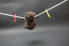 Βρετανικό γατάκι Shorthair σε μια γραμμή υφασμάτων Στοκ Φωτογραφίες