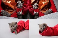 Βρετανικό γατάκι Shorthair σε μια τσάντα και ανά ένα ζευγάρι των κόκκινων τζιν, πλέγμα πλέγματος 2x2 Στοκ Φωτογραφία