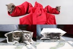 Βρετανικό γατάκι Shorthair σε μια τσάντα και ανά ένα ζευγάρι των κόκκινων τζιν, πλέγμα πλέγματος 2x2 Στοκ Εικόνες