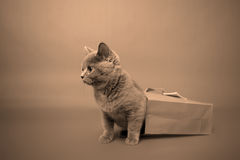 βρετανικό γατάκι shorthair Στοκ εικόνα με δικαίωμα ελεύθερης χρήσης