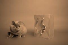 βρετανικό γατάκι shorthair Στοκ Εικόνες