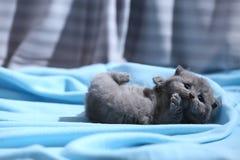 Βρετανικό γατακιών Shorthair, μπλε υπόβαθρο Στοκ εικόνες με δικαίωμα ελεύθερης χρήσης