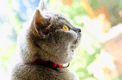 βρετανικό ιώδες πορτρέτο γατών shorthair Στοκ εικόνα με δικαίωμα ελεύθερης χρήσης