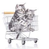 Βρετανικό κοντό γατάκι τρίχας δύο Στοκ φωτογραφία με δικαίωμα ελεύθερης χρήσης