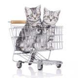Βρετανικό κοντό γατάκι τρίχας δύο Στοκ Εικόνες