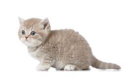 Βρετανικό κοντό γατάκι τριχώματος Στοκ εικόνα με δικαίωμα ελεύθερης χρήσης