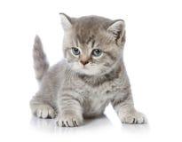 Βρετανικό κοντό γατάκι τριχώματος Στοκ Εικόνες
