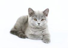 βρετανικό λευκό γατακιών Στοκ φωτογραφίες με δικαίωμα ελεύθερης χρήσης