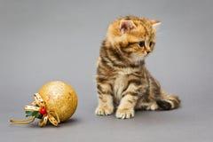 Βρετανικό μάρμαρο γατακιών με τα παιχνίδια Χριστουγέννων Στοκ φωτογραφίες με δικαίωμα ελεύθερης χρήσης