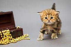 Βρετανικό μάρμαρο γατακιών με τα παιχνίδια Χριστουγέννων Στοκ φωτογραφία με δικαίωμα ελεύθερης χρήσης