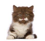 Βρετανικό μακρυμάλλες γατάκι, 6 εβδομάδες παλαιός, που βρίσκεται και που εξετάζει τη κάμερα Στοκ φωτογραφίες με δικαίωμα ελεύθερης χρήσης