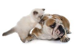 Βρετανικό μακρυμάλλες γατάκι και αγγλικό μπουλντόγκ Στοκ Εικόνες