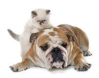 Βρετανικό μακρυμάλλες γατάκι και αγγλικό μπουλντόγκ Στοκ φωτογραφία με δικαίωμα ελεύθερης χρήσης