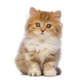 Βρετανικό μακρυμάλλες γατάκι, 2 μηνών, συνεδρίαση και εξέταση τη κάμερα Στοκ Εικόνες