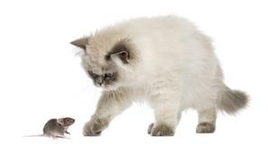 Βρετανικό μακρυμάλλες γατάκι που φθάνει σε ένα ποντίκι, που απομονώνεται Στοκ Εικόνα