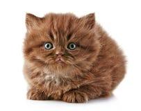 Βρετανικό μακρυμάλλες γατάκι Στοκ Εικόνα