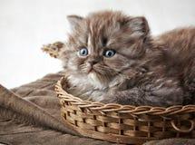 Βρετανικό μακρυμάλλες γατάκι Στοκ Εικόνες