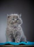 Βρετανικό μακρυμάλλες γατάκι Στοκ Φωτογραφίες