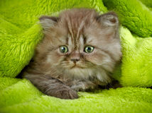 Βρετανικό μακρυμάλλες γατάκι Στοκ φωτογραφία με δικαίωμα ελεύθερης χρήσης
