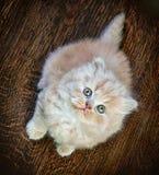 Βρετανικό μακρυμάλλες γατάκι Στοκ φωτογραφίες με δικαίωμα ελεύθερης χρήσης