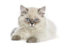Βρετανικό μακρυμάλλες να βρεθεί γατακιών, που εξετάζει τη κάμερα Στοκ εικόνες με δικαίωμα ελεύθερης χρήσης