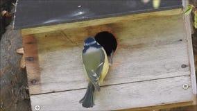 Βρετανικό μπλε πουλί tit που προετοιμάζει να τοποθετηθεί το κιβώτιο στο δέντρο για να αναθρέψει την οικογένεια των νεοσσών απόθεμα βίντεο