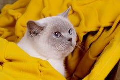 Βρετανικό μπλε-σημείο χρώματος γατών Βρετανική άσπρη γάτα με τα μπλε μάτια Στοκ Φωτογραφία