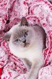 Βρετανικό μπλε-σημείο χρώματος γατών Βρετανική άσπρη γάτα με τα μπλε μάτια Στοκ Εικόνες