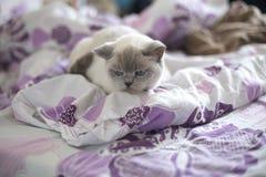 Βρετανικό μπλε-σημείο χρώματος γατών Βρετανική άσπρη γάτα με τα μπλε μάτια Στοκ Φωτογραφίες