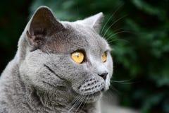 Βρετανικό μπλε πορτρέτο γατών Στοκ Εικόνες