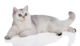 Βρετανικό ξάπλωμα γατών shorthair στοκ εικόνες