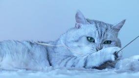 Βρετανικό παιχνίδι γατών τσιντσιλά απόθεμα βίντεο