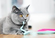 Βρετανικό παιχνίδι γατών Shorthair με ένα παιχνίδι Στοκ Εικόνα