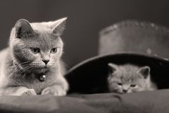 Βρετανικό πορτρέτο γατακιών Shorthair και μητέρα, πορτρέτο Στοκ εικόνα με δικαίωμα ελεύθερης χρήσης