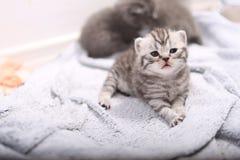 Βρετανικό πορτρέτο γατακιών Shorthair Στοκ φωτογραφία με δικαίωμα ελεύθερης χρήσης