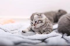 Βρετανικό πορτρέτο γατακιών Shorthair Στοκ εικόνες με δικαίωμα ελεύθερης χρήσης